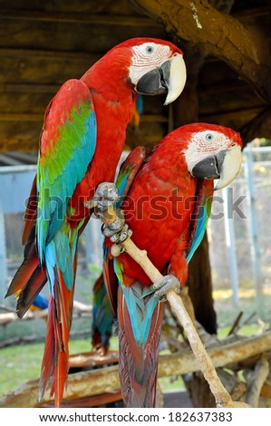 Green-winged Macaw on tree branches within the exhibit. - stock photo