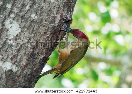 Green woodpecker (Picus viridis) feeding its young which peeps out of the nesting hole in a tree - stock photo