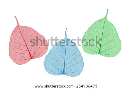 green, yellow and red leaves bodhi , macro, isolated on white - stock photo