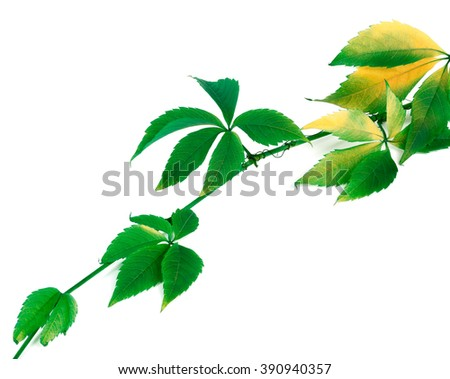 Green yellowed sprig of grapes leaves (Parthenocissus quinquefolia foliage). Isolated on white background. - stock photo
