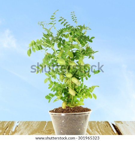 green young chickpeas pod on plant  - stock photo
