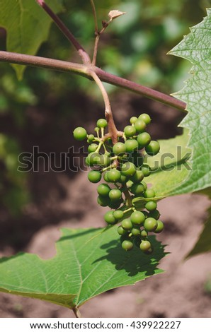 Green young grapes - stock photo