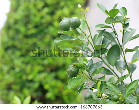 Green young lemons with dew on tree - stock photo