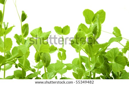 green young pea shoots isolated on white - stock photo