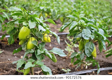 green young peppers growing in a field or plantation - stock photo