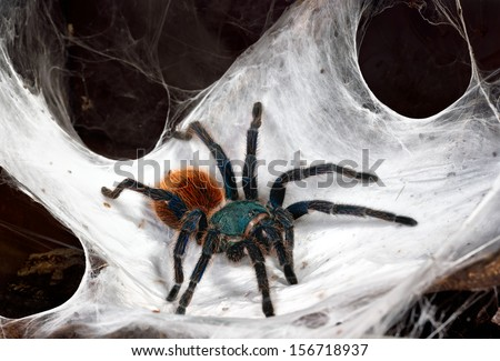 Greenbottle blue tarantula Stock Photos, Images ...