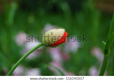 Greenfly on a half-opened poppy flower bud - stock photo