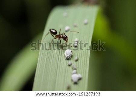 Greenfly or Aphid on white - wingless form - stock photo