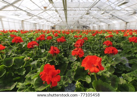 Greenhouse with blooming geranium plats. - stock photo