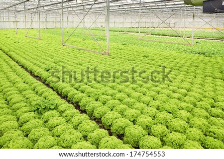 Greenhouse with growing Salad and Andive plants - horizontal - stock photo