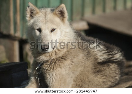 Greenland Hound in Sismiut, the world captial of Greenland Hound breeding - stock photo