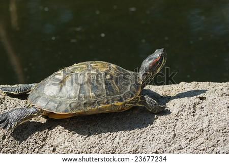greet turtle in the sun - stock photo