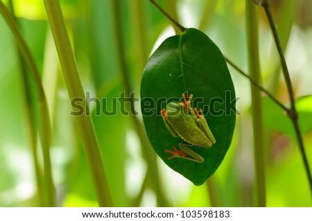 Grenouille arboricole, Costa Rica - stock photo
