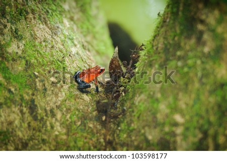 Grenouille Dendrobate fraise - stock photo