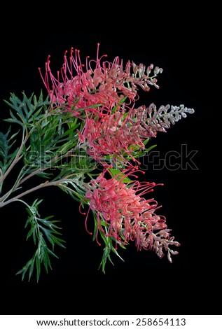 Grevillea flower isolated on black - stock photo