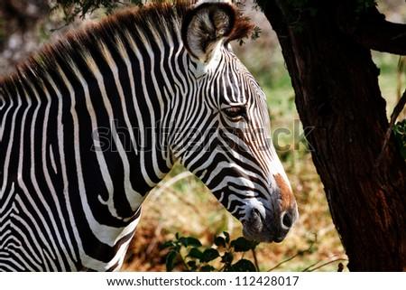 Grevy Zebra portrait, Samburu National Reserve, Kenya - stock photo