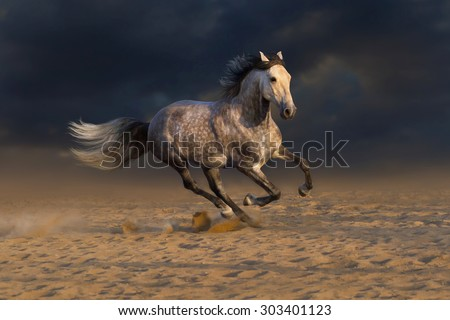 Grey andalusian horse run gallop in desert dust - stock photo