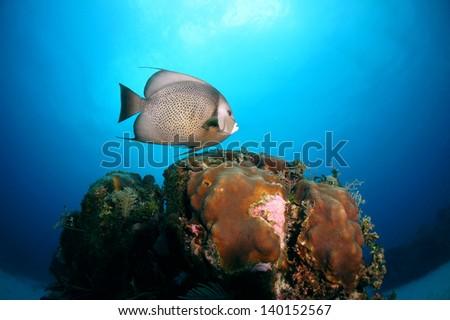 Grey angel fish swimming above the coral reef  - Riviera Maya, Mexico - stock photo