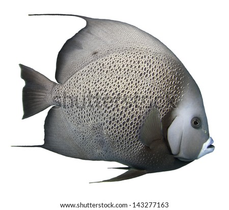 Grey Angelfish Isolated with a white background - stock photo
