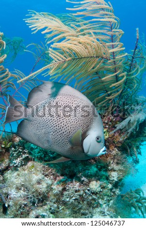 Grey Angelfish on a coral reef in the Bahamas - stock photo