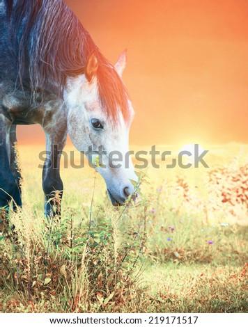 Grey Arabian horse grazing at sunset, close-up portrait  - stock photo