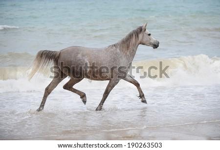Grey Arabian horse trotting in the sea water - stock photo