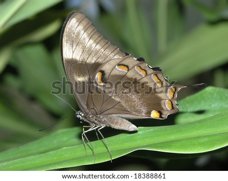Grey butterfly side view - stock photo