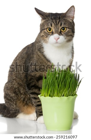 Grey cat and green grass, isolated on white - stock photo