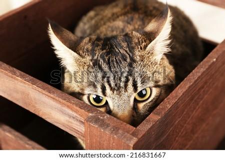 Grey cat in wooden box closeup - stock photo