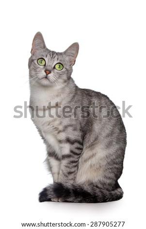 Grey cat isolated on white - stock photo
