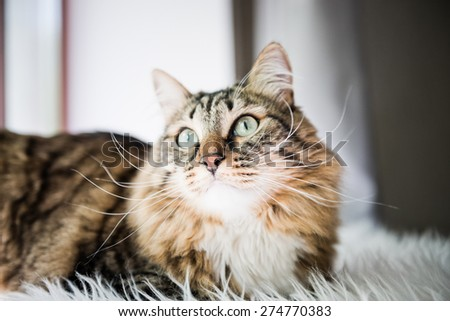 Grey cat looking up on bed  - stock photo