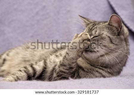Grey cat lying on bed with close eyes in nice blur warm background, kitten, cat at home, portrait of cat - stock photo
