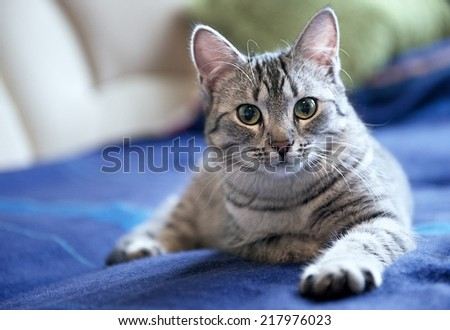 Grey cat on a sofa close up, portrait of little curious cat, grey cat, domestic animal at home, cat at home, young curious cat - stock photo