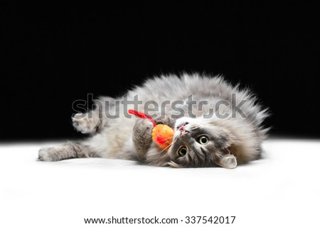 Grey cat on the black background - stock photo