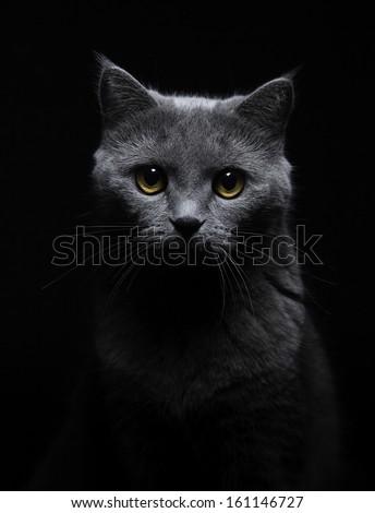 grey cat portrait close up on dark background watching - stock photo