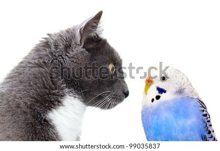 grey cat with blue budgerigar. Isolated on white background - stock photo