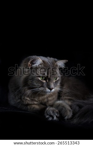 Grey cat with green eyes sitting on a chair isolated on a black background. - stock photo