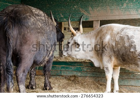 grey cattle - stock photo
