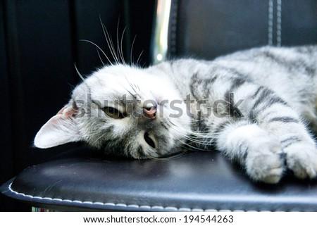 Grey domestic cat - stock photo