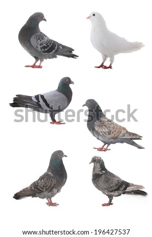 grey dove isolated on a white background - stock photo