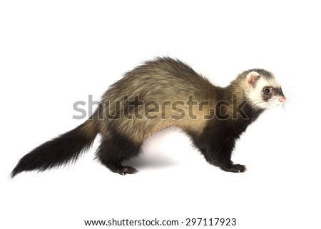 Grey ferret isolated on white - stock photo