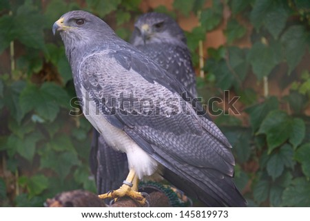 Grey hawk - stock photo