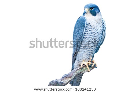 Grey hawk - isolated on white background - stock photo