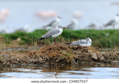 Grey-Headed Gulls (Larus cirrocephalus) standing on the shore - stock photo