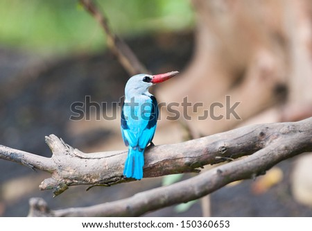 grey headed kingfisher sitting on a branch - national park saadani in tanzania - stock photo