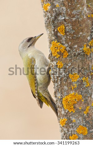 Grey-headed Woodpecker sitting on the tree trunk with yellow lichen, nice green bird, Sweden - stock photo
