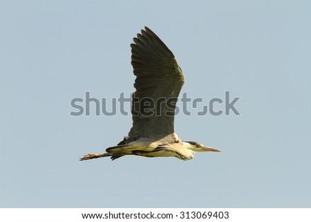 grey heron ( Adrea cinerea ) in flight over sky background  - stock photo