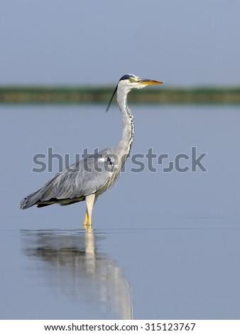 Grey Heron (Ardea cinerea) at Manych lake in Kalmykia, Russia - stock photo