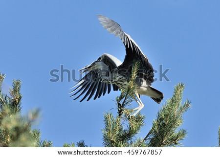 Grey Heron (Ardea cinerea) at pine tree - stock photo