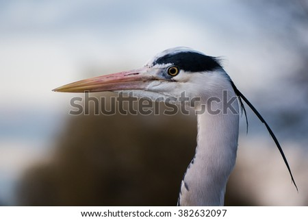Grey heron (Ardea cinerea) head in profile. Close shot of a heron's head, showing yellow eye and black crest feather - stock photo